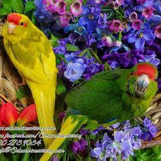 11 Best Kakarikis images in 2019   Parakeet, Birds, Parrot