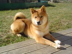 Shiba Inu Boomer was definitely a Shiba - Pets Training Work With Animals, Animals And Pets, Cute Animals, Japanese Akita, Japanese Dogs, Chien Akita Inu, Japanese Dog Breeds, Cute Puppies, Fur Babies