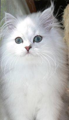 Beautiful White Chinchilla Persian Cat with blue eyes (hva)
