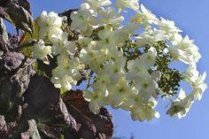 Eichenblatthortensie   Die Hydrangea quercifolia (Eichenblatthortensie) ist eine wunderschöne Heckenpflanze, die auch bei Anpflanzung in großen Gruppen sehr attraktiv ist. Die Eichenblatthortensie hat wunderschöne große, grüne Blätter, die sich im Herbst zu wunderschönen Rot- und Violetttönen verfärben.