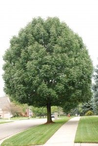 """Emerald Ash Borer resistant """"Red Ash"""" from Utica, Michigan - tree #1 from another angle"""
