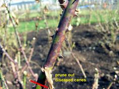 Rose Growing & Care / 'How To' Articles / Care for Roses in the Fall / Heirloom Roses - Heirloom Roses Pruning Roses, Fall Clean Up, Rose Care, Heirloom Roses, Rose Bush, Garden Tools, Garden Ideas, Growing Plants, Peonies