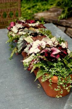 Begonia, Ferns & Creeping Fig Vine  container gardening, landscaping