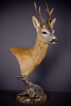 European roe deer taxidermy