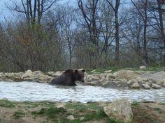Amador living life as a bear should