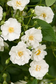 Rambling Rector - Hybrid Multiflora, white, semi-double, 1910, not rated by ARS.