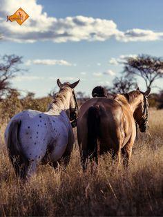 Safari Pferde auf Kambaku genießen freien Auslauf im 8000 Hallo großen Wildlife Reserve, optimales Training und perfekte Pflege und Versorgung ..//.. Chances are high that the trail horses of Kambaku horse adventures in Namibia are the winner of most-cared horses of Africa #horsesafari #safarionhorseback #reitsafaris #kambaku #lodge #kambakusafarilodge #namibia #africa #afrika #safari #wilderness #bestlodge #adventure #bushsavanna #savanna #wildgame #gamereserve #kambakuwildlifereserve…