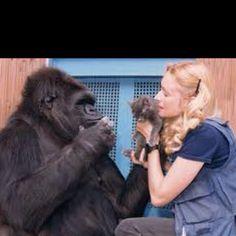 Koko the Gorilla with Dr. Penny Paterson & Koko's kitten:)