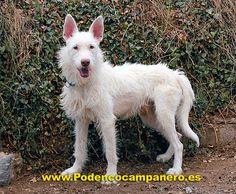 Podenco Campanero.......love the scruffy look to this dog
