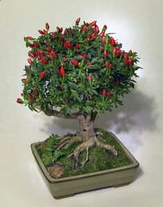 Best DIY tutorial on how to create a bonsai with chili plants. I wonder if you can do it with other plants?