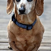 Available Pets At Dachshund Rescue Nw Dachshund Club Of Spokane