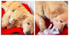 Rescue shelter's service dog, a golden retriever takes stray kitten under her wing. #goldenretriever #kitten #shelter #rescuedogl #servicedog #straykitten Medium Sized Dogs, Medium Dogs, Kitten Shelter, Mother Cat, Little Kittens, Service Dogs, Dog Paws, Cat Breeds, Dog Mom