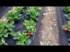 Cum plantam si ingrijim capsunii - YouTube