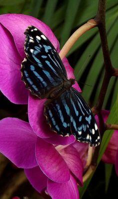 Royal Blue butterfly (Myscelia cyaniris)