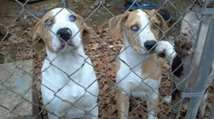 Hoots Catahoulas male puppies