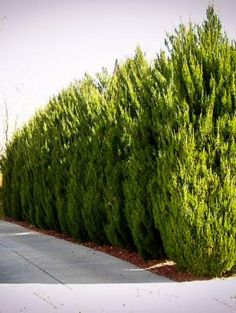 Spartan Juniper to line fencing for evergreen privacy Privacy Trees, Privacy Plants, Privacy Landscaping, Fence Plants, Backyard Privacy, Garden Shrubs, Garden Planters, Shade Garden, Pool Plants