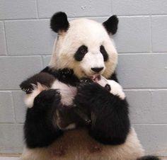 Panda - Moeder en kind.