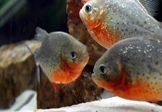 red belly piranha fish | Raising The Red Belly Piranha With Large Forum And Pictures