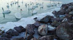 Swan's