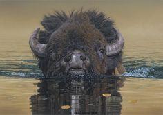 bison swimming