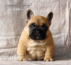 Sensei, the Chubby French Bulldog Puppy ; )