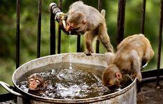 monkeys bath time