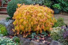 The foliage of the Green Lace Leaf Japanese Maple Acer palmatum dissectum 'Viridis' or 'Viridans' changes to beautiful shades of yellow, gold and orange in autumn. Shade Perennials, Shade Plants, Beautiful Flowers Garden, Beautiful Gardens, Acer Garden, Acer Palmatum, Beach Landscape, Japanese Maple, Small Trees