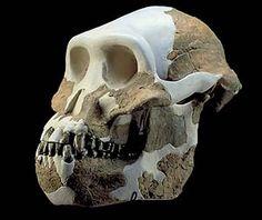 Australopithecus bahrelghazali (especie de Australopithecus) único encontrado fuera de África oriental. Recibe su nombre del oasis de Bahr-el-Ghazal, en Chad. Situado entre 4 y 3 m.a.