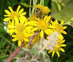 Honeybee on Organic Flower
