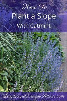 Definitely use Catmint on a slope in your landscape design. Repeat it for splashes of color, repetition and so your eye follows the beautiful plant throughout the garden. It's low maintenance and drought tolerant too along with flowering almost all summer