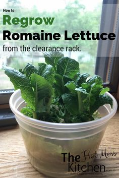 A clearance buy on romaine lettuce at the grocery store turned in to a summer of lettuce! See how I did it in this post and follow us for more at TheHotMessKitchen.com.