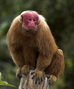 The bald uakari monkey lives in the western Amazon of Brazil and Peru.