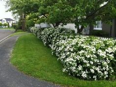 Choisya will make a dense hedge upto 6′ tall with profuse, white flowers borne in spring and early summer. Description from beardsworths.co.uk. I searched for this on bing.com/images