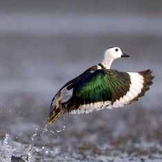 Green Pygmy Goose - Gary Kinard