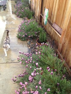 "This side yard used to be just dirt and the neighborhood cat toilet. I read that cat's don't like lavender so I planted a bunch of Lavender, along with Rosemary. Now I call it ""Lavender Way"". Pipsqueak (my cat) calls it a ""Crying Shame""."