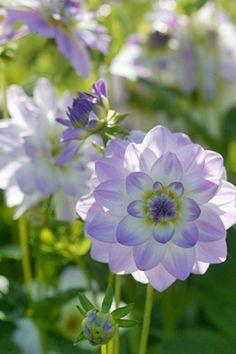 Dahlia Twilight Time plant, white flowers, yard, color, dahlias, purple flowers, twilight time, dahlia twilight, garden