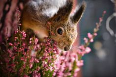Cute big ear squirrel alert watching the photographer, surrounded by lovely pink flowers with stalks similar to lavender. #DdO:) - https://www.pinterest.com/DianaDeeOsborne/flowers-beyond-expected/  -FLOWERS BEYOND EXPECTED. Photo SOURCE: Voice of Nature, on Tumblr.  Credit: cuiledhwen -   Squirrel VII by sampok