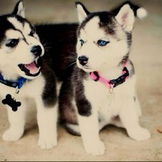 The siberian husky puppy can be a very cute dog. Chcek out some adorable puppy pictures. Also find out some information on the Alaskan Siberian Husky. Cute Husky Puppies, Puppy Husky, Siberian Husky Puppies, Siberian Huskies, Adorable Puppies, Huskies Puppies, Pomsky Puppies, Pomeranian Husky, Puppy Cam