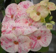 This item is unavailable All Flowers, Colorful Flowers, Euphorbia Milii, Euphorbia Plant, Crown Of Thorns Plant, Garden Sprinklers, Big Plants, Mother Plant, Large Planters