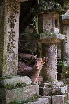 Une biche curieuse entre d'anciennes lanternes en pierre à l'entrée du temple Shinto Kasuga-Taisha. Nara, Japon © Clément Racineux / Tonton Photo