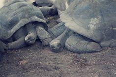 Schildkröten La Digue