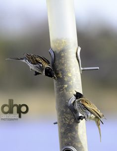 Reed Warblers having a good natter I think #RSPB #Wildlife #Birds #UptonWarrenNatureReserve #WWT