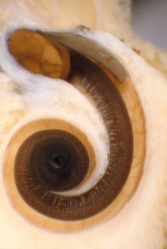 This is a cochlea that has been opened so that you can see the nerve cells inside: each of the little lines that you see within the cochlea is a nerve cell. Different parts of the cochlea respond to different frequencies of sound, from high frequencies in the base (top part of the image) to low frequencies in the apex (innermost part of the spiral)