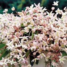 Clematis armandii 'Apple Blossom' Vanilla scented blooms on evergreen vine