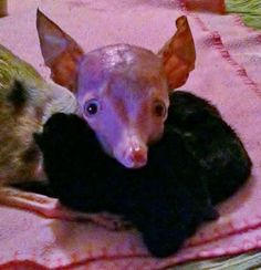 Rosie the Inbred Chihuahua Opens Her Heart to Four Abandoned Kittens | Jackie's Space