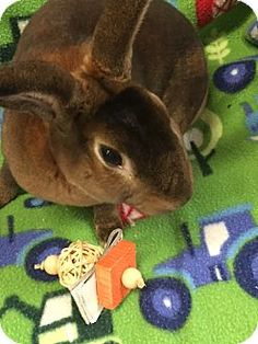 Meet Lucious!  He is a super soft Mini Rex available for adoption. #adoptdontshop #animalrescue #bunnies #rabbits