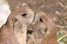 Interesting facts about prairie dogs animal facts pinterest prairie dogs greet each other by kissing wikimedia commons cc by 30 m4hsunfo