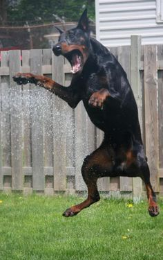 This happy Dobermann is playing hard with the water spraying on a sunny warm day!!!! I had many that loved to play just like this one!!