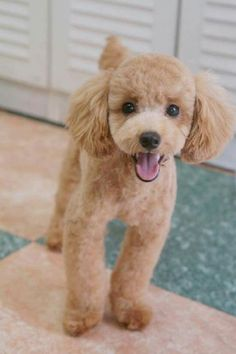 Pin by Paula McKinlay on Pet stuff Poodle haircut, Poodle cuts toy poodle haircut styles - Haircut Style Maltipoo Haircuts, Dog Haircuts, Mini Poodles, French Poodles, Toy Poodles, Toy Poodle Puppies, Yorkie Poodle, Funny Puppies, Standard Poodles