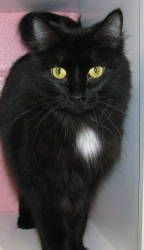 Tweety is an adoptable Domestic Medium Hair Cat in Cumming, GA. Hi. I'm Tweety, a black female DMH, born around 5/30/10. Currently I live at the adoption center where I get along very well with nine k...